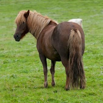 牧草地のアイスランド馬