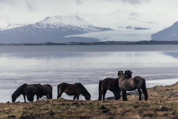 自然の中でアイスランドの馬
