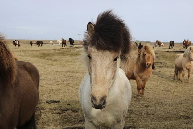 野生の自然の中のアイスランドの馬