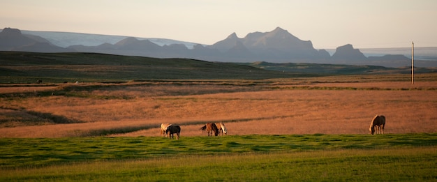 Icelandic horses in pasture, rugged mountains behind