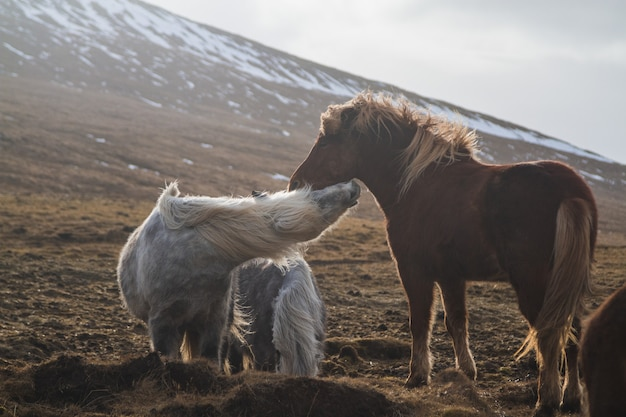 Cavalli islandesi che giocano in un campo coperto di neve ed erba sotto la luce del sole in islanda