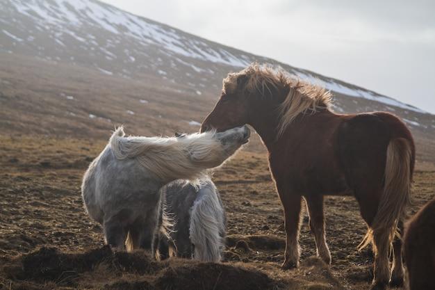 アイスランドの日光の下で雪と草に覆われたフィールドで遊ぶアイスランドの馬