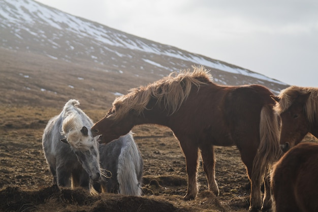 Icelandic horses playing with each other in a field surrounded by horses in iceland