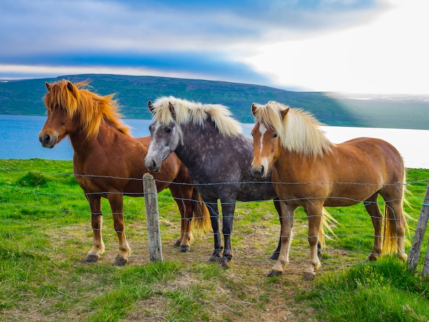 Icelandic horses standing at green field, iceland
