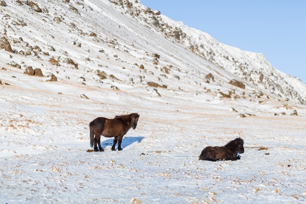 Icelandic horses walk in the winter in the snow on a hillside