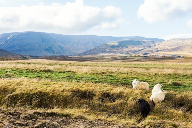 Icelandic prairie