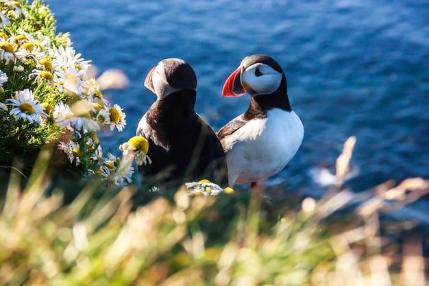 Исландская пара птиц-пуффинов, стоящая в цветочных кустах в латрабьярг, исландия, европа