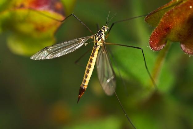 Ichneumon wasp (syzeuctus)