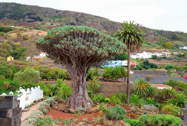 カナリア諸島、テネリフェ島のicod de los vinosで有名なドラゴンツリー