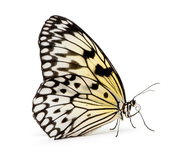 Идея спрашивай бабочка в на белом изолированных