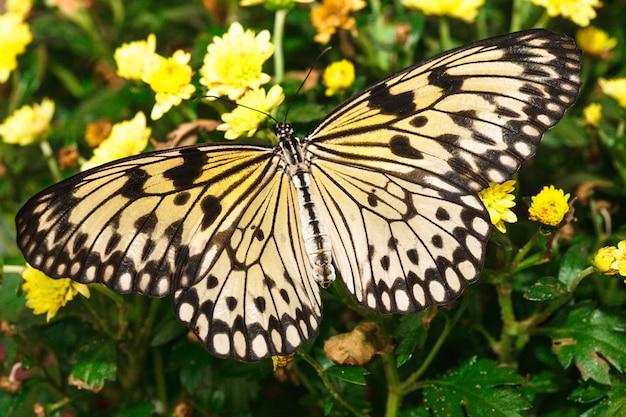 黄色の.chrysanthemumのアイデアロイコノエ蝶
