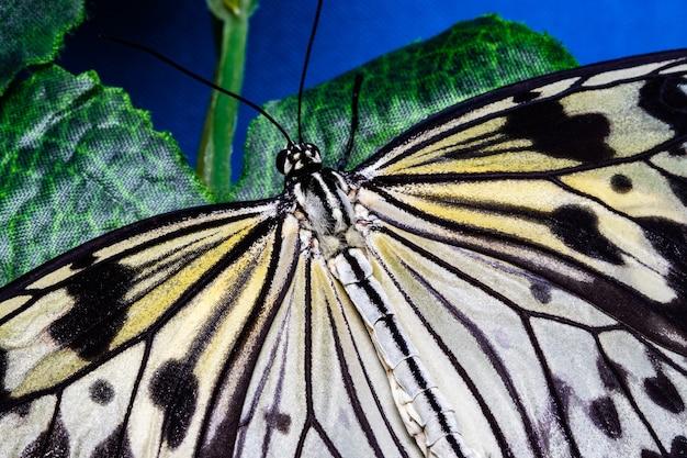 アイデアロイコノエ、オオゴマダラ蝶、ライスペーパー蝶。