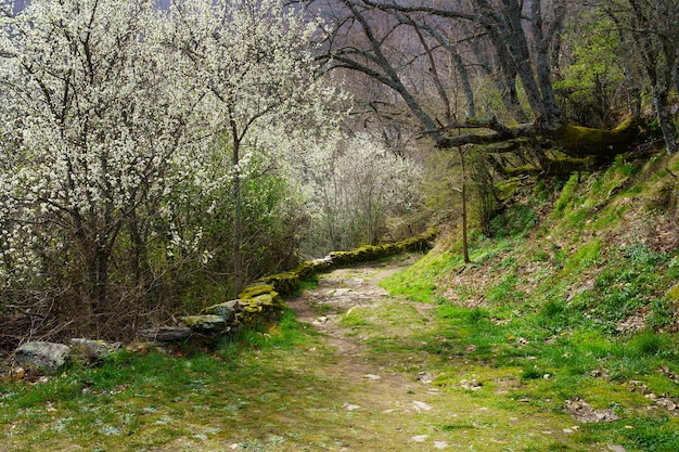 白い花の木々のある牧歌的な春の風景と巨大な枝の木々のある森への小道