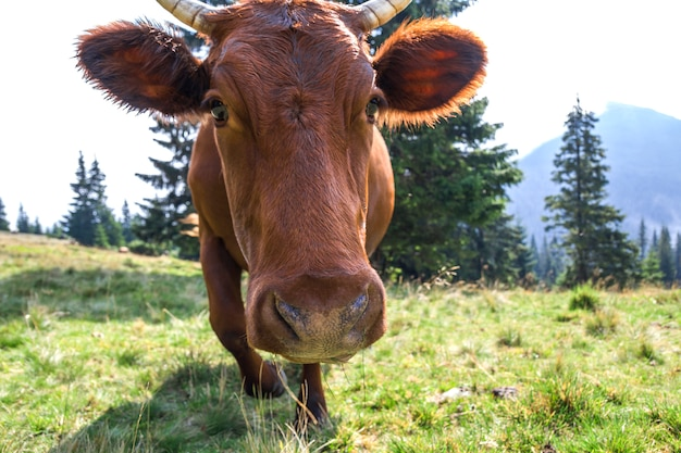 Idyllic view of nice brown cow grazing in green pasture field fresh grass on bright sunny day. farming and agriculture.