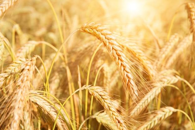 Ield of yellow wheat in sun rays Premium Photo