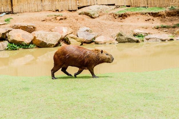 Ig capybara (hydrochoerus hydrochaeris) в зоопарке