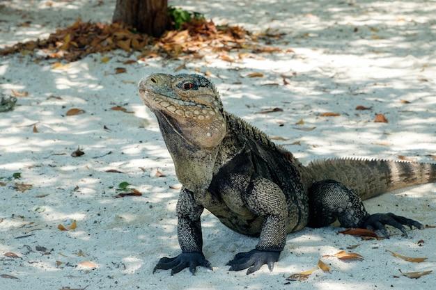 Игуана, большая ящерица на песке, остров кайо бланко на кубе