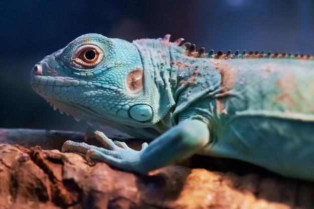 Iguana close up portrait photo