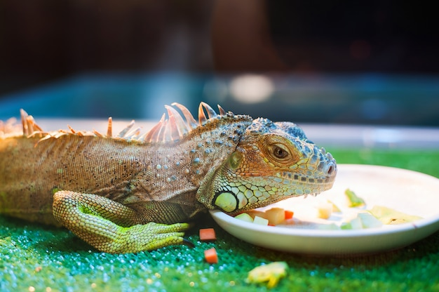 Iguana eating vegetables in contact zoo