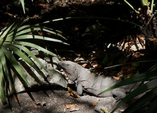 멕시코의 이구아나