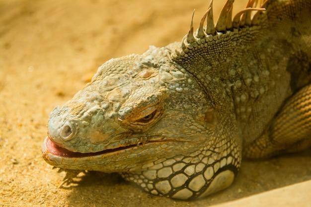 The iguana is sleeping on the sand