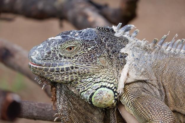 Iguana laying on wood