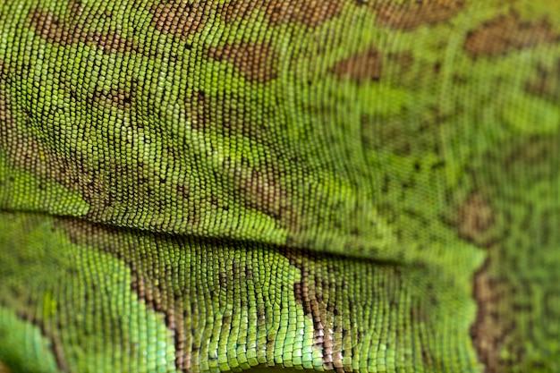 Iguana lizard skin