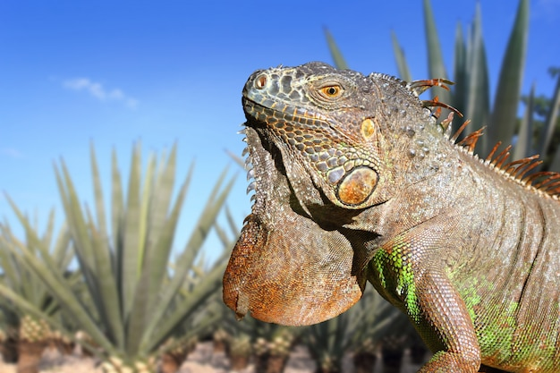 Iguana mexico in agave tequilana field blue sky