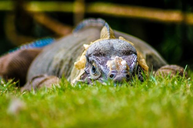 ドミニカ共和国の緑の芝生に腰掛けたイグアナ