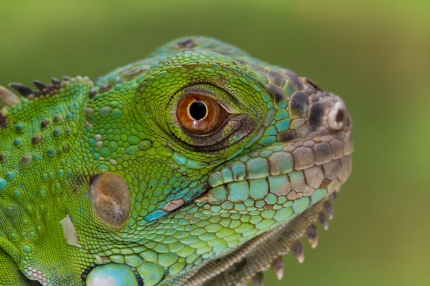 Iguana portrait closeup