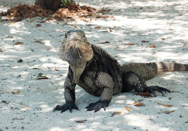 Игуана, портрет большой ящерицы на песке, остров кайо бланко на кубе
