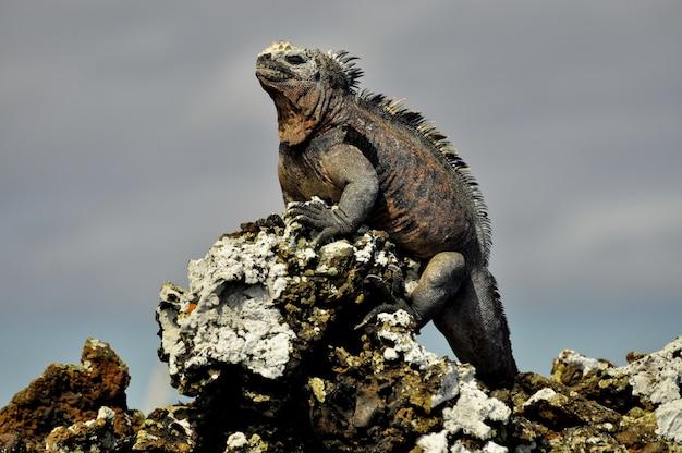 An iguana on a rock
