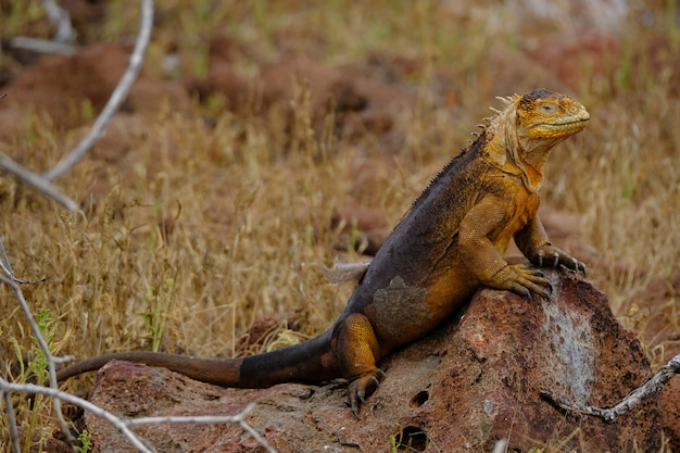 Iguana standing on a rock near the dry grassy field with blurred background