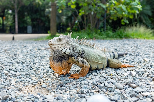 Iguana che fissa sulle rocce