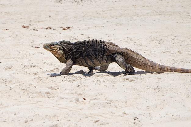 Игуана, идущая по песку, остров кайо бланко на кубе
