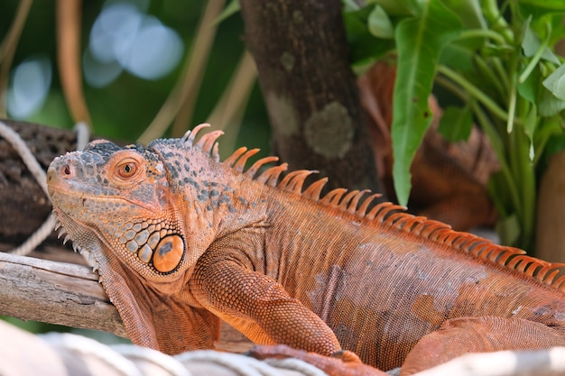 Iguanas are genera of lizards that live in the tropics of central america, south america, and the caribbean islands. red iguana, blurr background