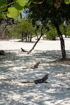 Игуаны, ящерицы на песке, остров кайо бланко на кубе