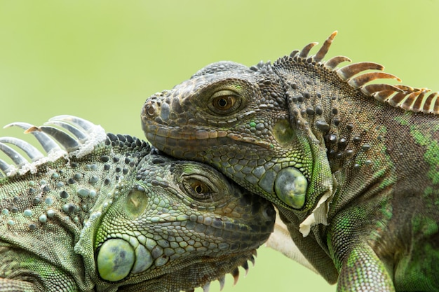 Iguanas touching each others heads