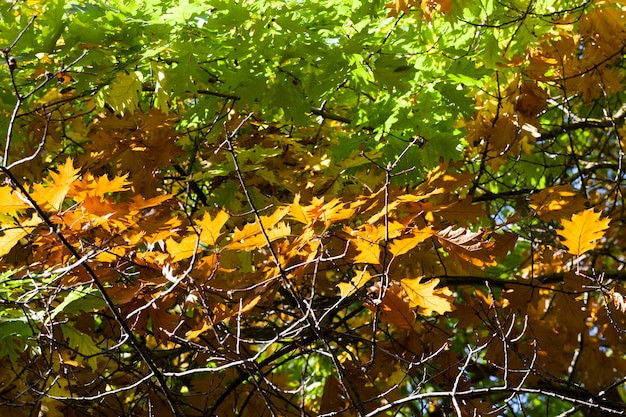 Illuminated by bright sunbeams branch of an oak tree with yellowed autumn leaves