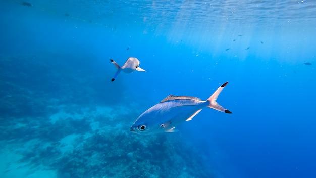 Освещенные солнечными лучами голубые рыбки плавают под пучиной моря.