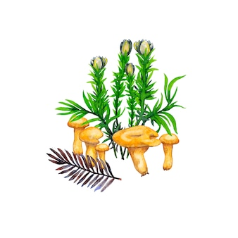 Illustration of chanterelle baby mushrooms, flowers, grass and fir twig. watercolor painting.