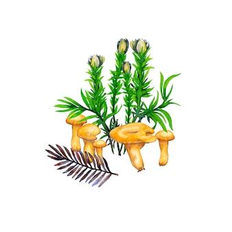アンズタケ赤ちゃんキノコ、花、草、モミの小枝のイラスト。水彩画。