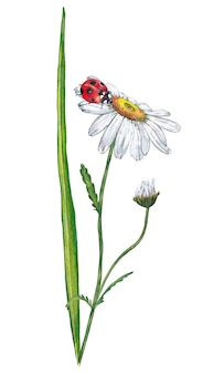 Illustration of realistic green grass with white chamomile and ladybug. watercolor painting.