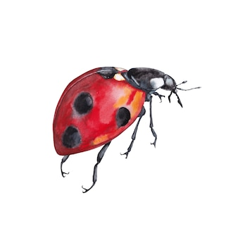 Illustration of realistic natural ladybug insect. closeup side view. watercolor painting.