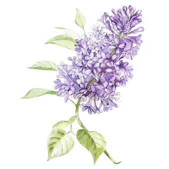 Illustration in watercolor style of a lilac flower blossom. floral card with flowers. botanical illustration.