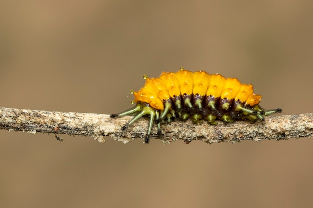 Image of an amber caterpillar on brown branch. insect. animal