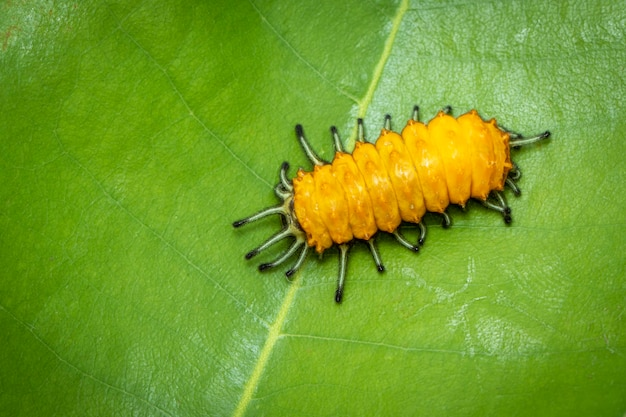 Image of an amber caterpillar on green leaf on natural background. insect. animal