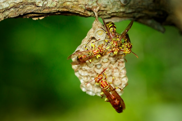 Image of an apache wasp (polistes apachus) and wasp nest on nature . insect. animal
