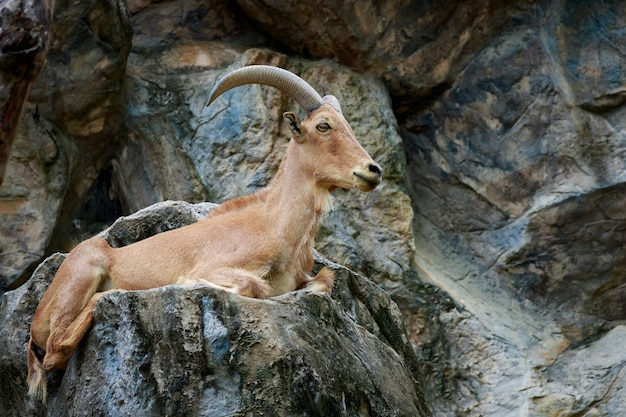 Image of a barbary sheep on the rocks. wildlife animals.