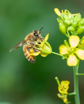 Image of bee or honeybee on flower collects nectar. golden honeybee on flower pollen with space blur for text.